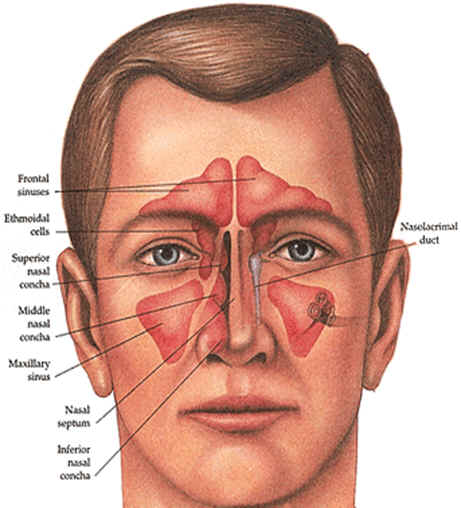 Sinus infection anatomy